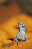Jaszczurka w piasku Zdjęcia Stock