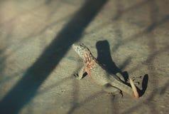 Jaszczurka w Sun Zdjęcie Royalty Free