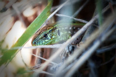 Jaszczurka w trawie Zdjęcie Stock