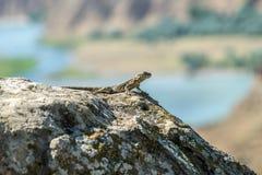 Jaszczurka w Uplistsikhe skały miasteczku Fotografia Royalty Free