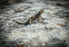 Jaszczurka w Uplistsikhe skały miasteczku Zdjęcie Stock