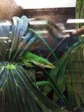 Jaszczurka w zwierzę domowe sklepu klatce obrazy stock