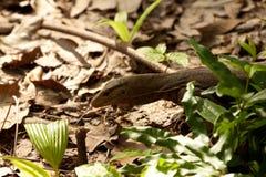 Jaszczurka widzieć na Perhentian wyspy dżungli, Malaysia Obraz Stock