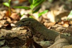 Jaszczurka widzieć na Perhentian wyspy dżungli, Malaysia Zdjęcie Stock