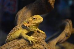 Jaszczurka wygrzewa się na gałąź i zegarkach w terrarium zdjęcia stock