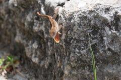 Jaszczurka z gardłem rozszerzającym Zdjęcie Royalty Free
