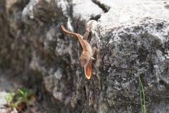 Jaszczurka z gardłem rozszerzającym Obrazy Royalty Free