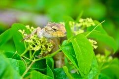 Jaszczurki Fotografia Royalty Free