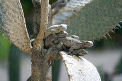 jaszczurki Obraz Royalty Free