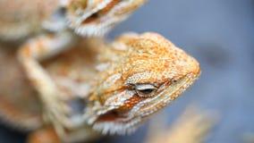 Jaszczurki Agama - pospolici gatunki gady w Azja zbiory