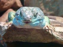 Jaszczurki głowa z błękitnym i zielonym kolorem Fotografia Stock