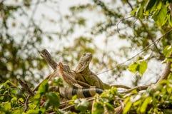 Jaszczurki iguana cureyên dişêlin e Zdjęcie Royalty Free