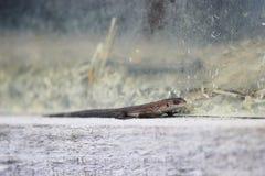 Jaszczurki Lacerta agilis siedzą na karniszu drewniany wioska dom Obraz Stock