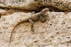 Jaszczurki obsiadanie na kamieniu Fotografia Royalty Free