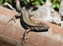 Jaszczurki sunbath Zdjęcie Royalty Free