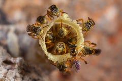 Jatai μελισσών αποικιών angustula Tetragonisca Στοκ φωτογραφίες με δικαίωμα ελεύθερης χρήσης