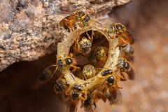 Jatai μελισσών αποικιών angustula Tetragonisca Στοκ Εικόνες