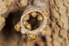 Jatai pszczoły przy wejściem ich roju makro- zakończenia up szczegół obrazy stock