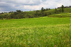 Jati Luwih Rice Terrace Royalty Free Stock Images