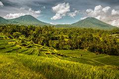 Jatiluwih在巴厘岛的米领域 库存图片