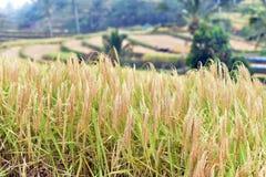 Jatiluwih米领域,巴厘岛,印度尼西亚 免版税库存图片