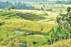 Jatiluwih米领域,巴厘岛,印度尼西亚 库存照片