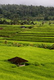 Jatiluwih Paddy Terrace Royalty Free Stock Photo