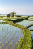 Jatiluwih-Reis-Terrassen an einem sonnigen Tag, Bali, Stockbild