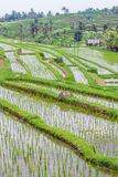 Jatiluwih rice fields Royalty Free Stock Photography