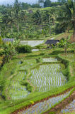 The Jatiluwih Rice Fields. Royalty Free Stock Photos