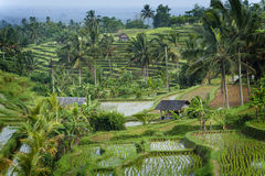 The Jatiluwih Rice Fields. Stock Image