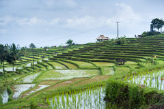 The Jatiluwih Rice Fields. Stock Photos