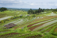 The Jatiluwih Rice Fields. Stock Photo