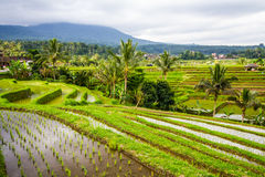 Jatiluwih rice fields Royalty Free Stock Photo