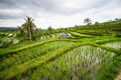 Jatiluwih rice fields Royalty Free Stock Image