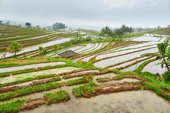 Jatiluwih rice terrace on a rainy day Royalty Free Stock Image