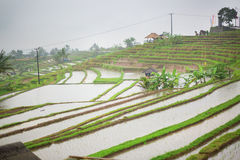 Jatiluwih rice terrace on a rainy day Royalty Free Stock Photo