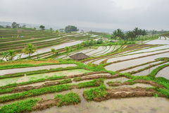 Jatiluwih rice terrace on a rainy day Stock Images