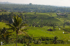 Jatiluwih Rice terraces in Bali Royalty Free Stock Photo