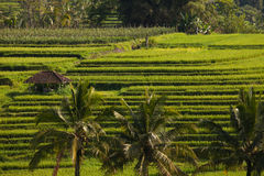 Jatiluwih Rice terraces in Bali Royalty Free Stock Photos