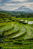 Jatiluwih Rice Terraces Royalty Free Stock Photos