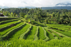 Jatiluwih rice terraces Royalty Free Stock Photo