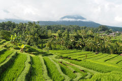Jatiluwih rice terraces Royalty Free Stock Images