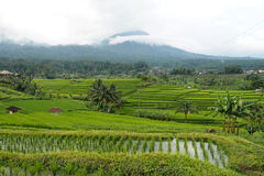 Jatiluwih rice terraces Stock Photos