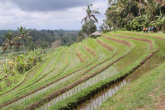 Jatiluwih ricefields terraces Stock Photography