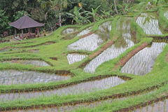 Jatiluwih ricefields Stock Images