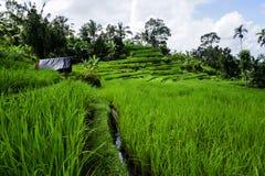 Jatiluwih risterrass i Bali arkivfoto