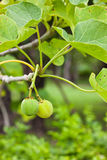Jatropha Stock Photos