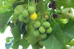 Jatropha Royalty Free Stock Images