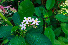 Jatropha bloom. Peregrina Flower or Spicy Jatropha blooming Stock Image